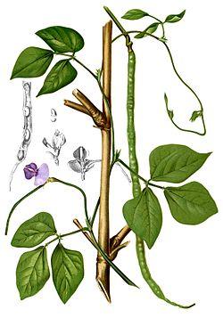 Vigna-unguiculata