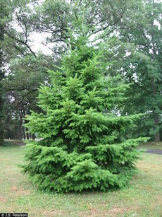 douglas-fir-young
