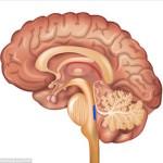 brain-alzheimer-brain