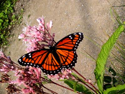 monarch-