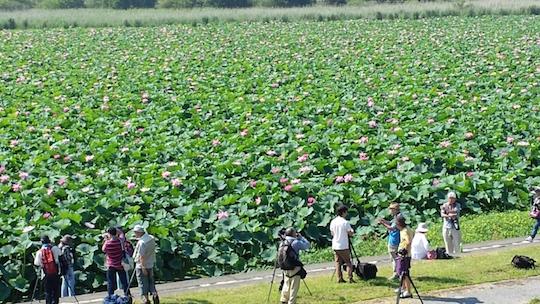 biwako-lotus