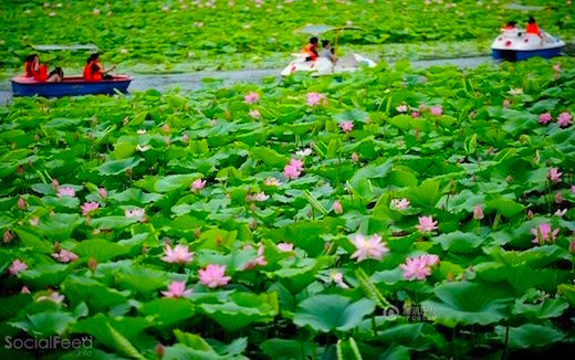 blooming-lotus-flowers-in-ne-china
