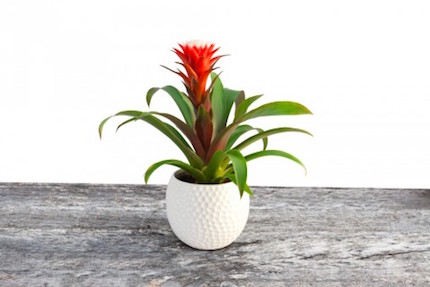 bromeliad-picture