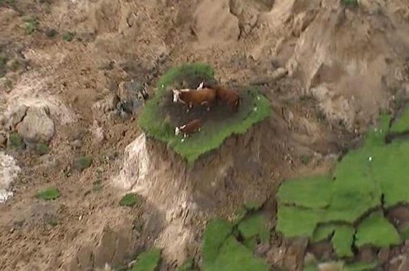 kaikoura-cow