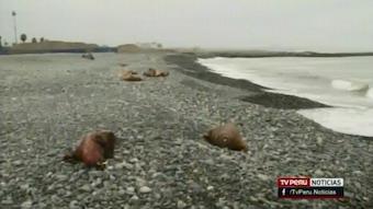 peru-sea-lions