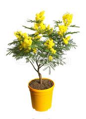 mimosa-pot