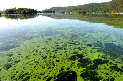 algae-bloom-bmaa