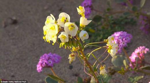 death-valley-bloom
