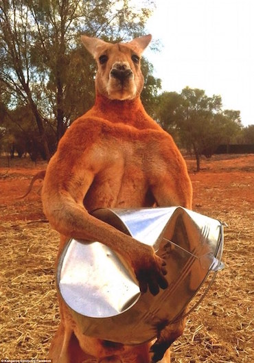 strong-kangaroo