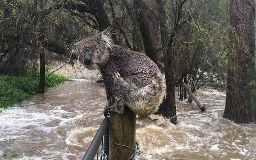 coala-in-floods