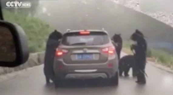 bears-chongqing-china