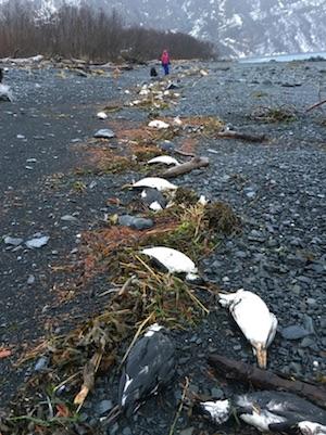 alaska-birds-deaths
