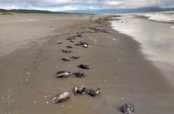 chilean-birds-deaths