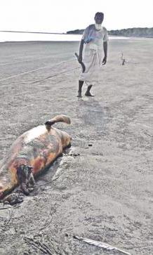 dead-dolphin-bangradesh