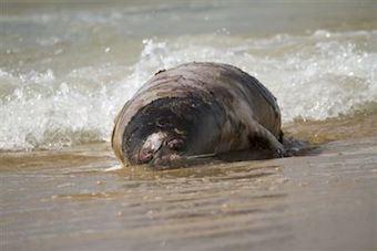 kazafstan-dead-seals